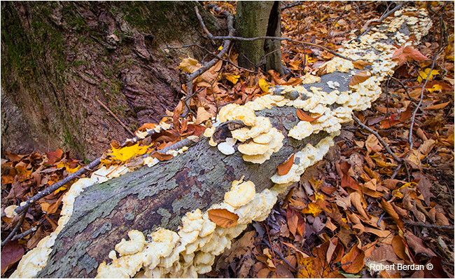 Laetiporus sulphureus Chicken of the woods polypore by Robert Berdan ©