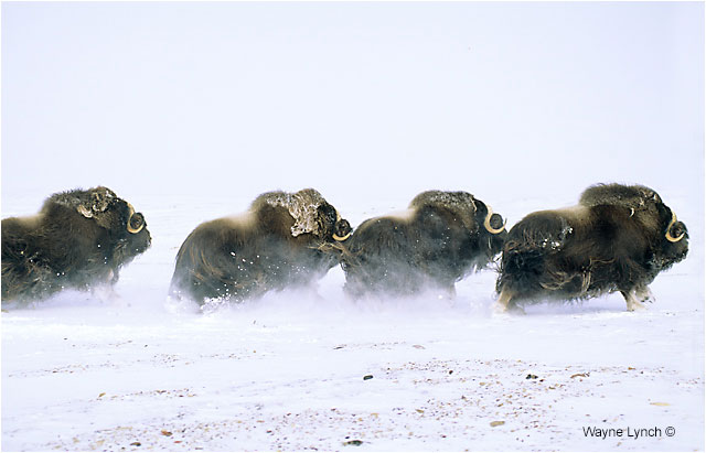 Muskox running through snow by Dr. Wayne Lynch ©