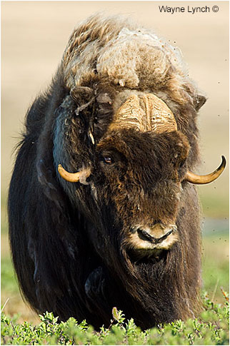 Muskox bull by Dr. Wayne Lynch ©