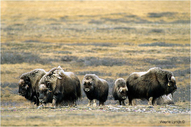 Muskoxen herd by Dr. Wayne Lynch ©