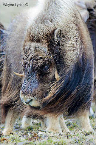 Bull Muskox by Dr. Wayne Lynch ©