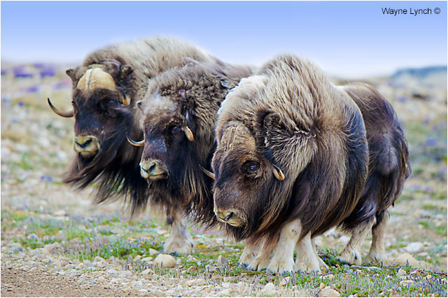 Muskoxen Bulls by Dr. Wayne Lynch ©