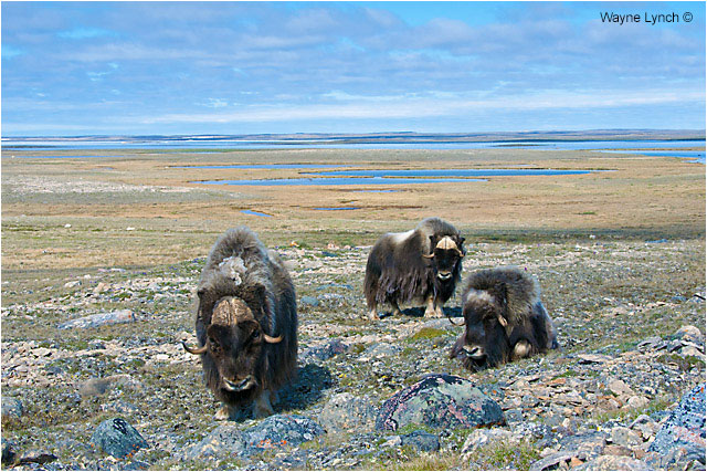 Muskoxen on the tundra by Dr. Wayne Lynch ©