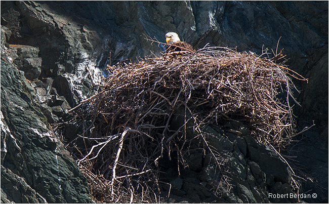 Eagles nest on cliffside below the Longpoint Lighthouse Twillingate Newfoundland by Robert Berdan ©