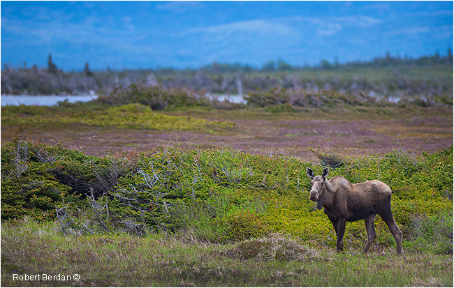 Moose Gros Morne National Park Newfoundland by Robert Berdan ©