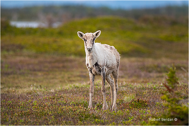 Young caribou Gros Morne National Park Newfoundland by Robert Berdan ©