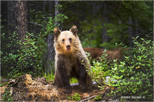 Young grizzly bear in Kananaskis by Robert Berdan ©