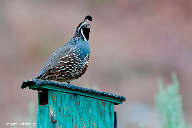 Male California Quail by Robert Berdan ©
