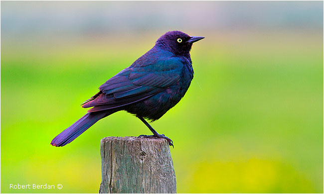 Common grackle (purple form) by Robert Berdan ©