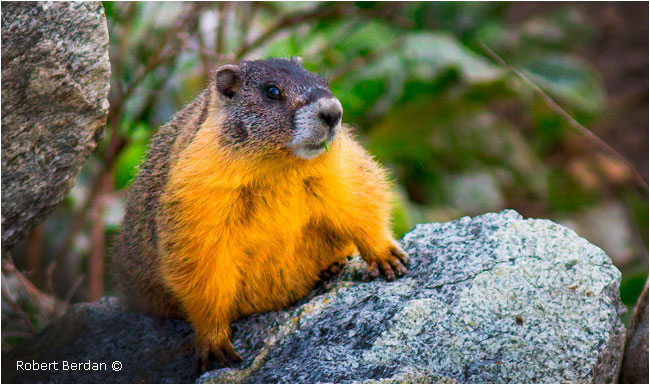 Yellow-bellied marmot by Robert Berdan ©