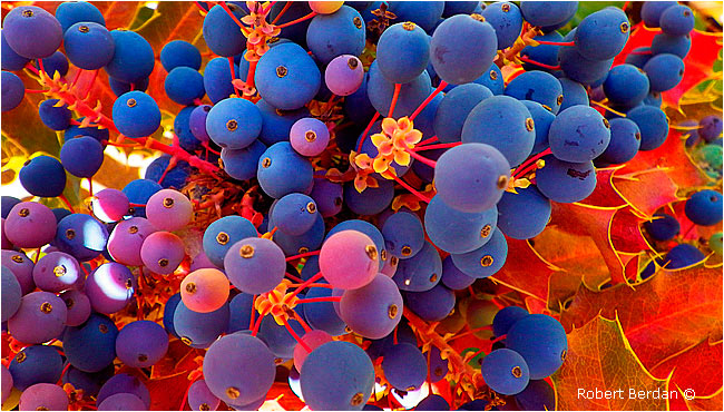 Grapes by Robert Berdan ©
