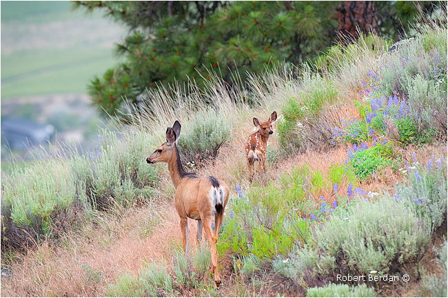 Mule Deer and fawn at observatory B&B by Robert Berdan ©