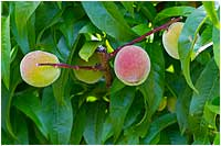 Peaches by Robert Berdan ©