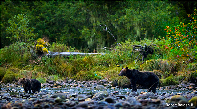 Grizzly bear and cub Mussel inlet BC by Robert Berdan ©