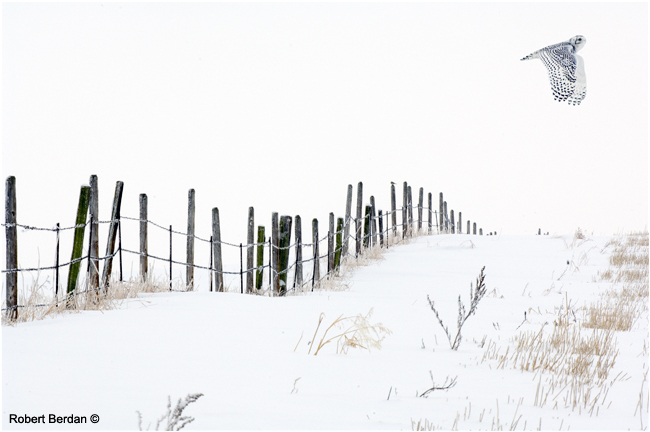 Winter scene with fence and flying snowy owl by Robert Berdan ©