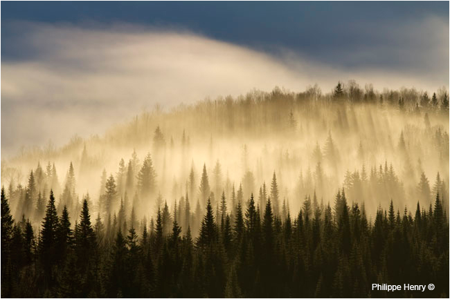 Gaspesie park spruce forest at sunrise by Philippe Henry ©