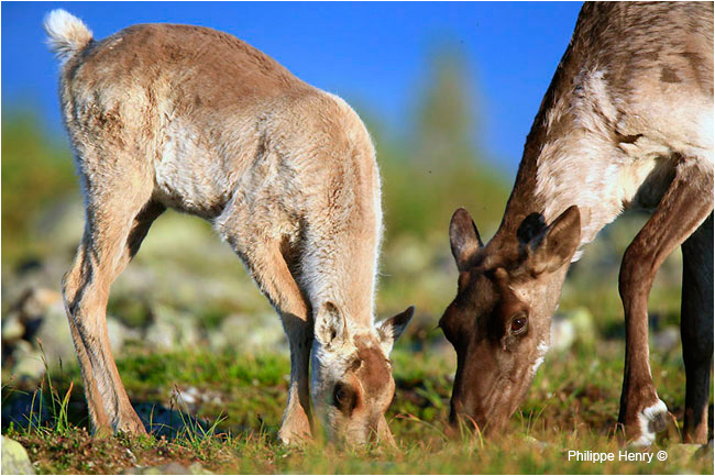 Gaspesie Caribou calf and female by Philippe Henry ©