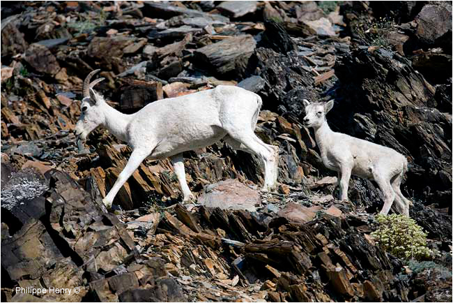 Dall sheep and lamb by Philippe Henry ©