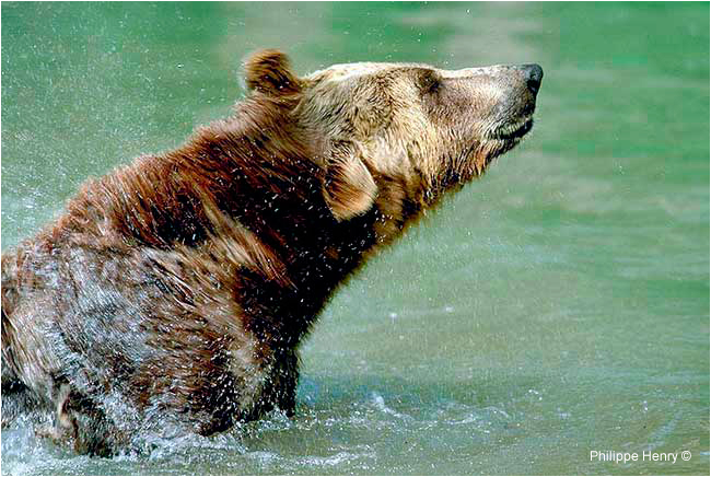 Grizzly bear by Philippe Henry ©