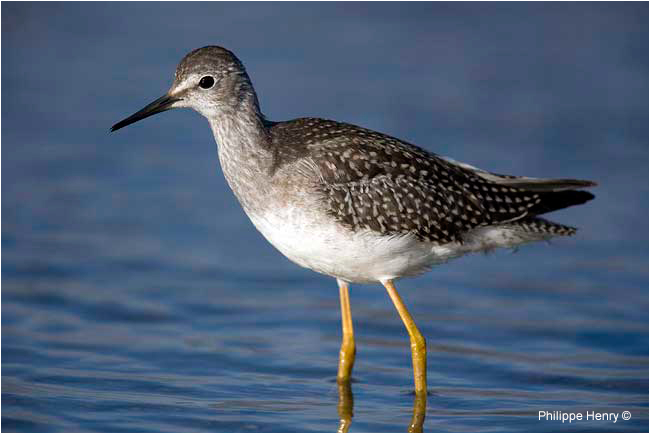 Lesser Yellowlegs by Philippe Henry ©