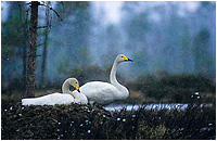 Mute and Whopper Swans by Philippe Henry ©