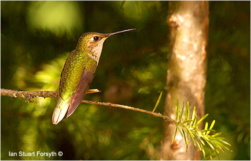 Ruby-throated Hummingbird by Ian Sturart Forsyth ©