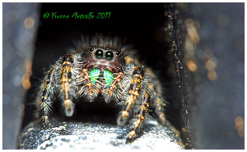 Jumping Spider by Yvonee Metcalfe ©