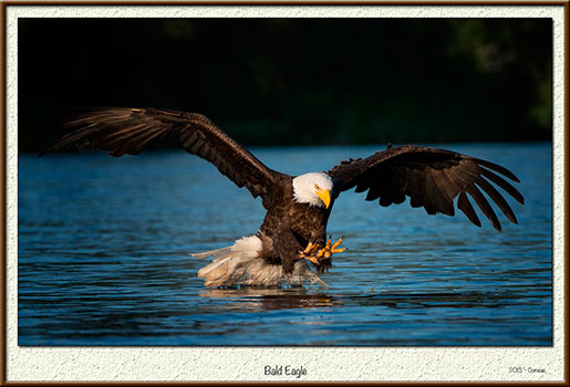 Eagle by Monte Comeau ©