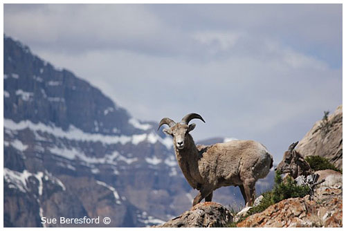 Sue Beresford Big Horn Sheep ©