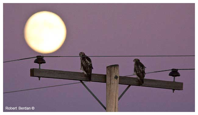 Hawks on post with full moon by Robert Berdan ©