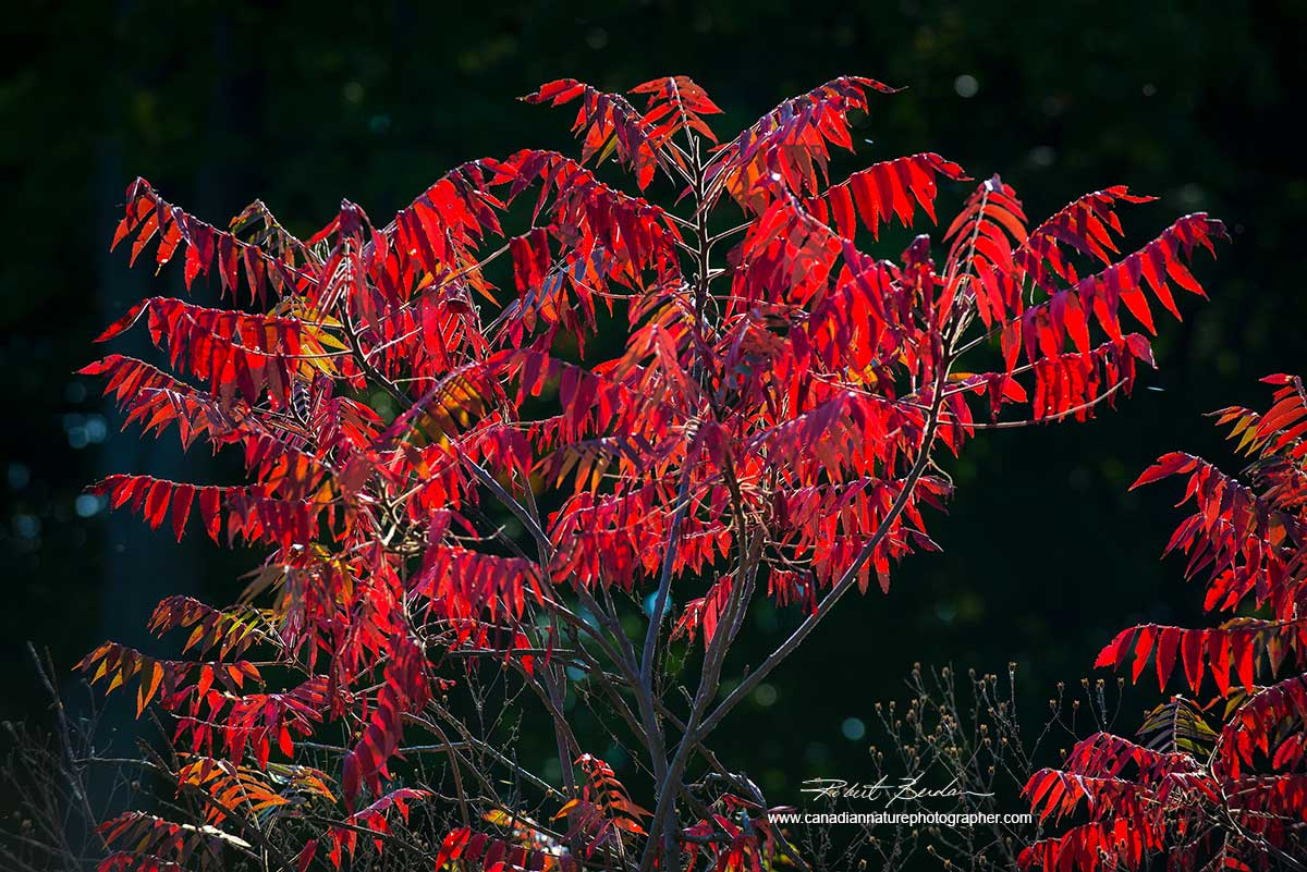 Bright red sumac leaves - Midland Point by Dr. Robert Berdan ©