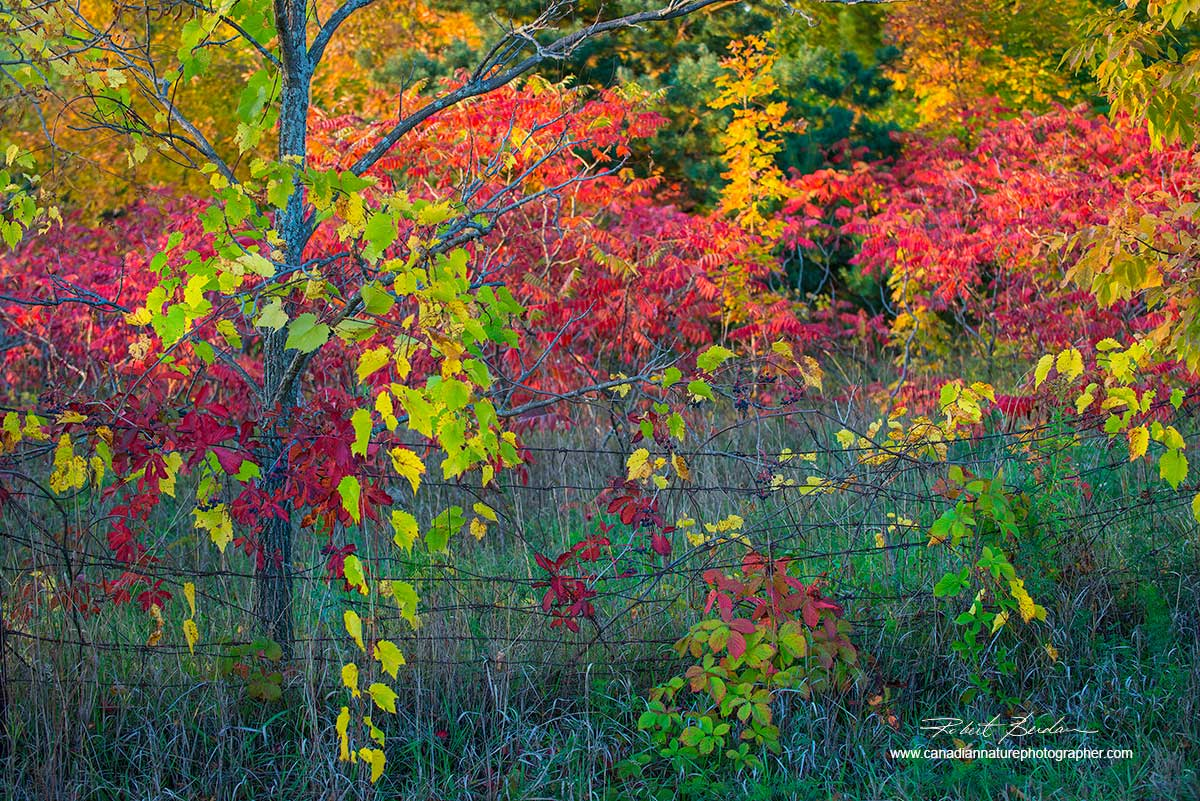Fall colours in Georgian Bay by Dr. Robert Berdan ©