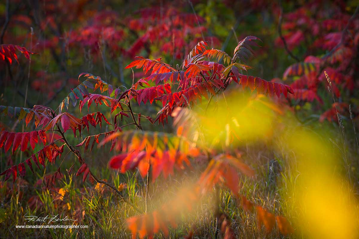Red leaves of the sumac in autumn by Dr. Robert Berdan ©