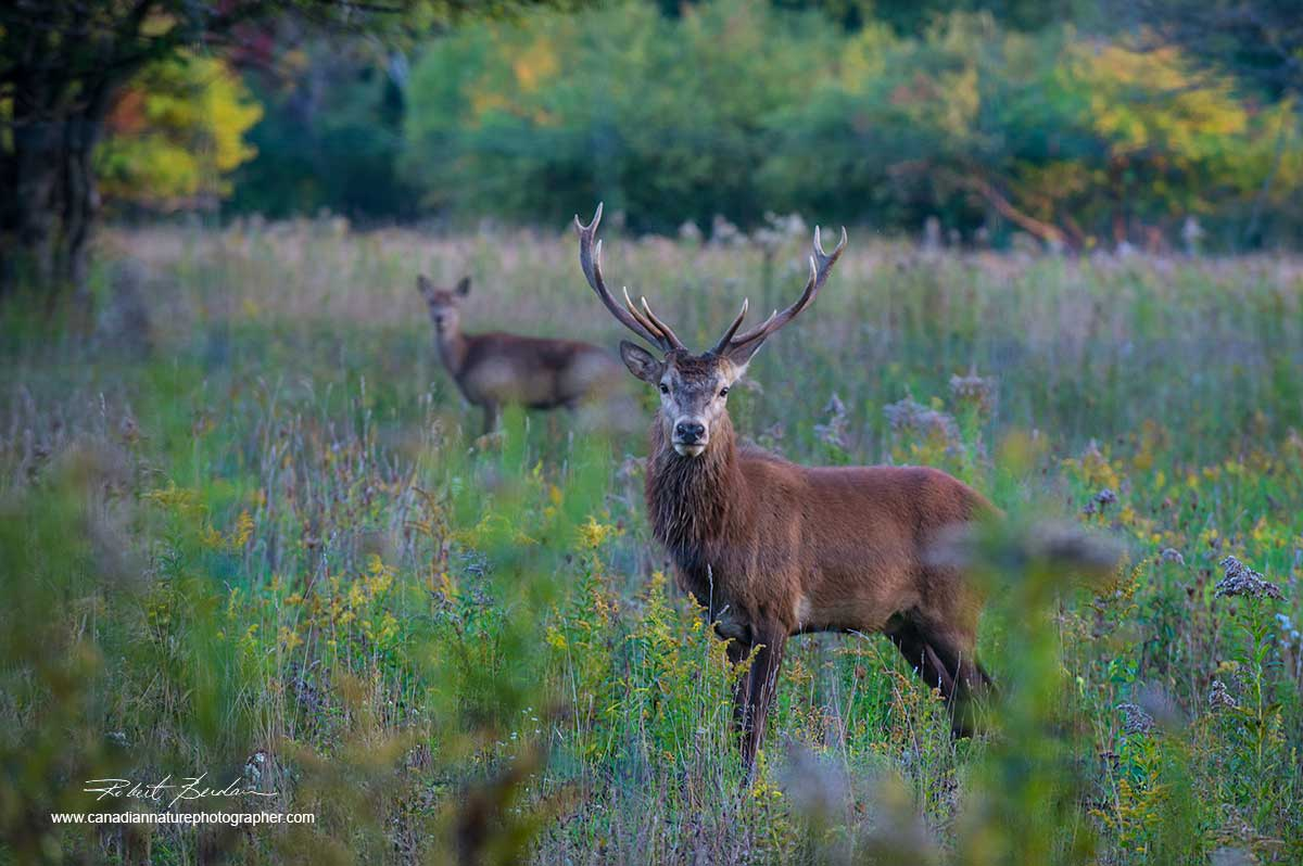 Red Deer by Dr. Robert Berdan ©