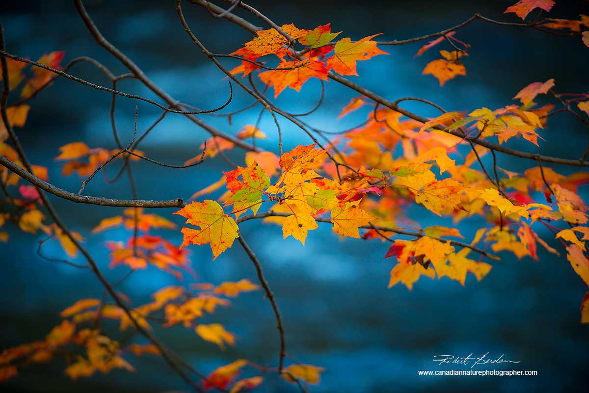 Maple leaves Oxtongue River by Dr. Robert Berdan ©
