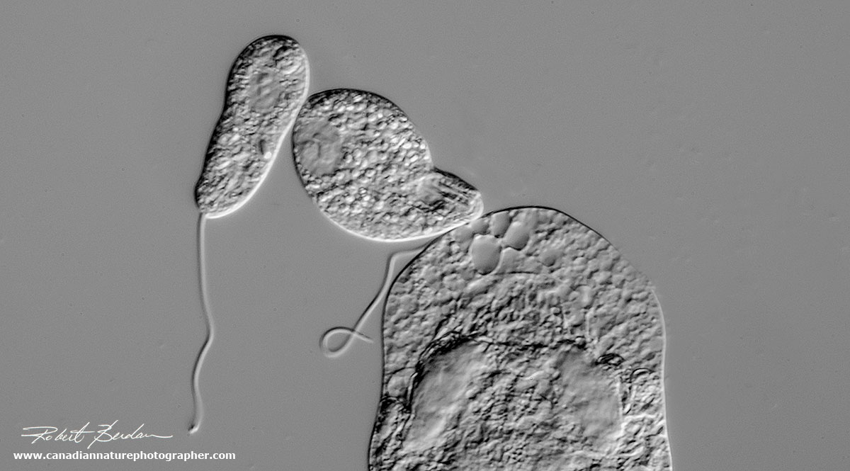photomicrography and video of protozoa and rotifers by