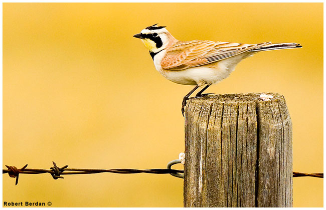 Horned Lark at Red Rock Coulee by Robert Berdan ©