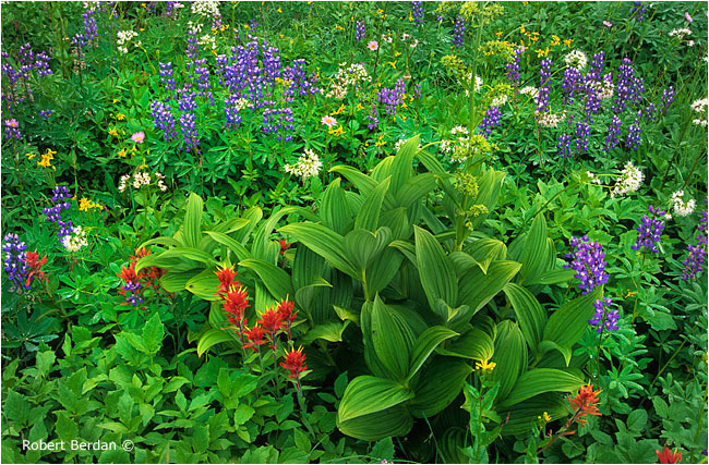 Indian paintbrush, false hellebore, lupines, nodding onions by Robert Berdan