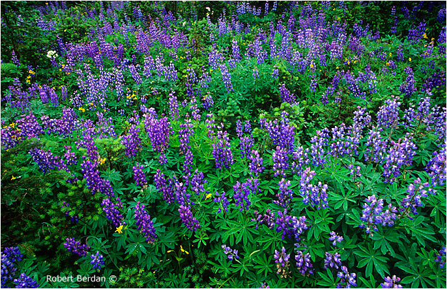 Lupines by Robert Berdan ©