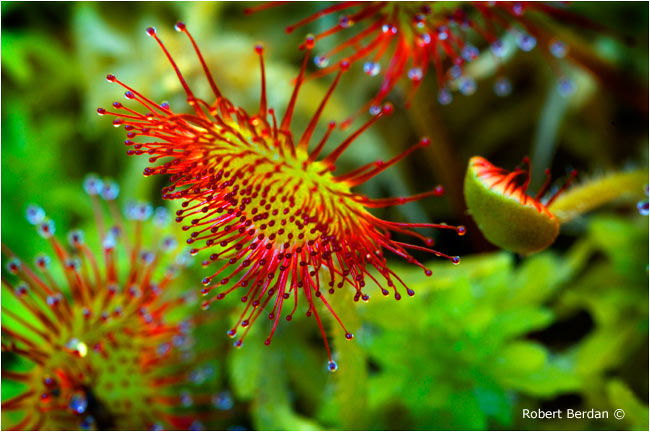 Round-leaved sundew near Revelstoke, BC by Robert Berdan