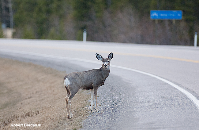 how to avoid deer on the road calgary