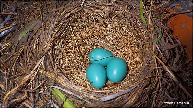 Three robin eggs by Robert Berdan ©