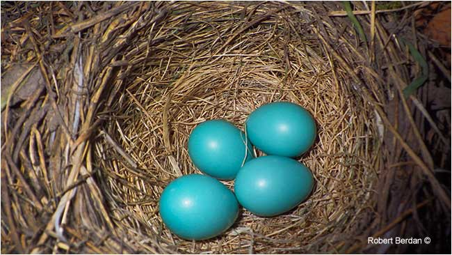 4 robin eggs by Robert Berdan ©