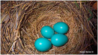 Robin's eggs in nest by Robert Berdan ©