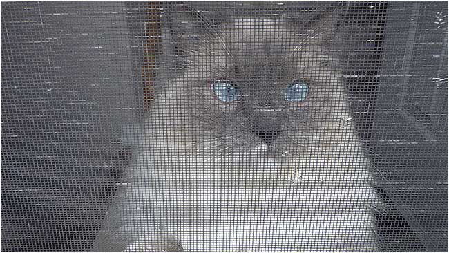 Cat behind screen door by Robert Berdan ©