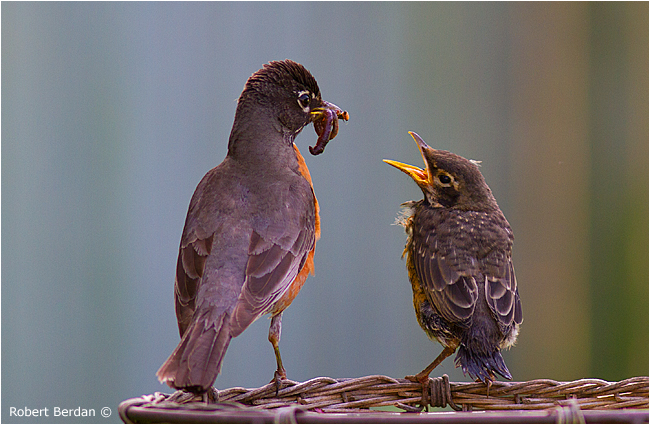 Robins feeding Robert Berdan ©
