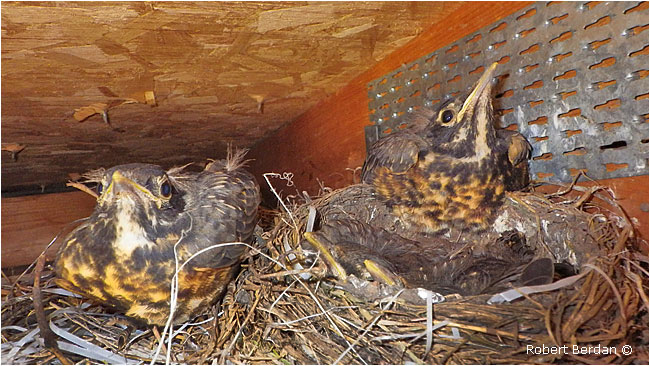 Young robins at the nest.