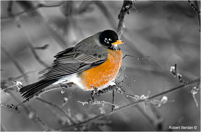 Robin by Robert Berdan ©