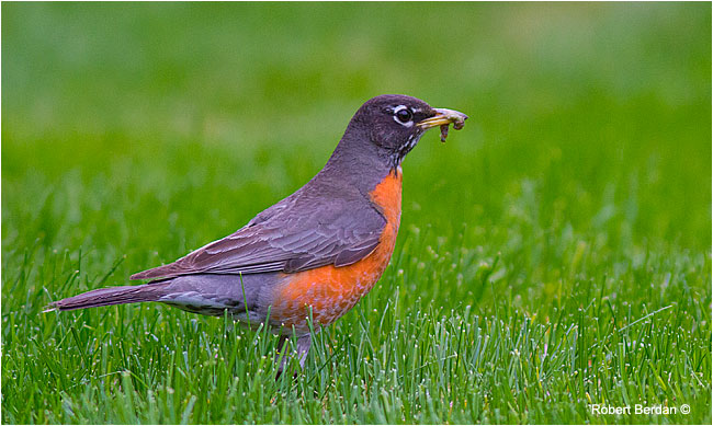 Robin with caterpillar in the grass by Robert Berdan ©