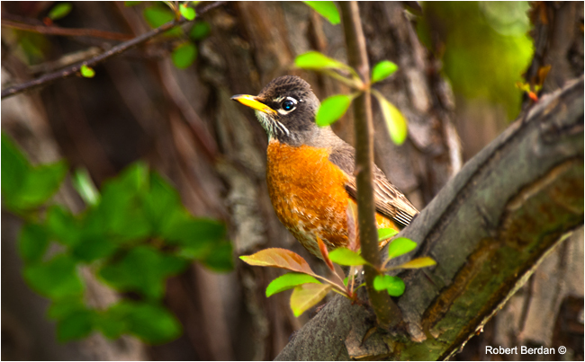 Robin in a tree by Robert Berdan ©